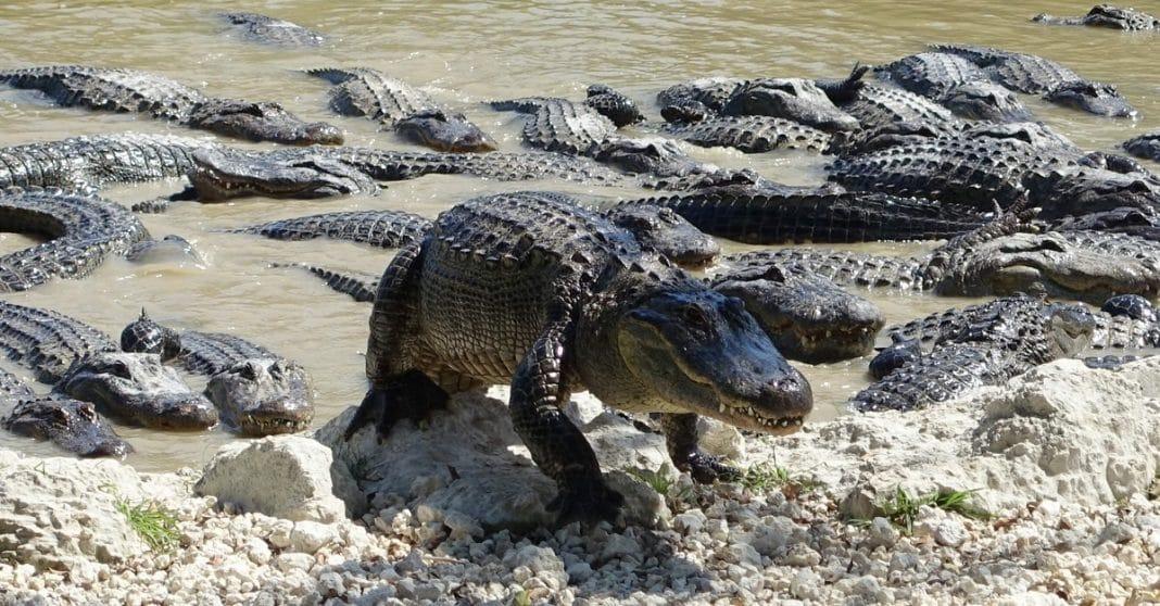 Los caimanes en la Florida más grandes de la Historia