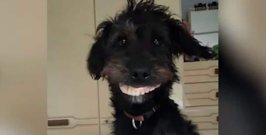 Un perro se roba una dentadura postiza