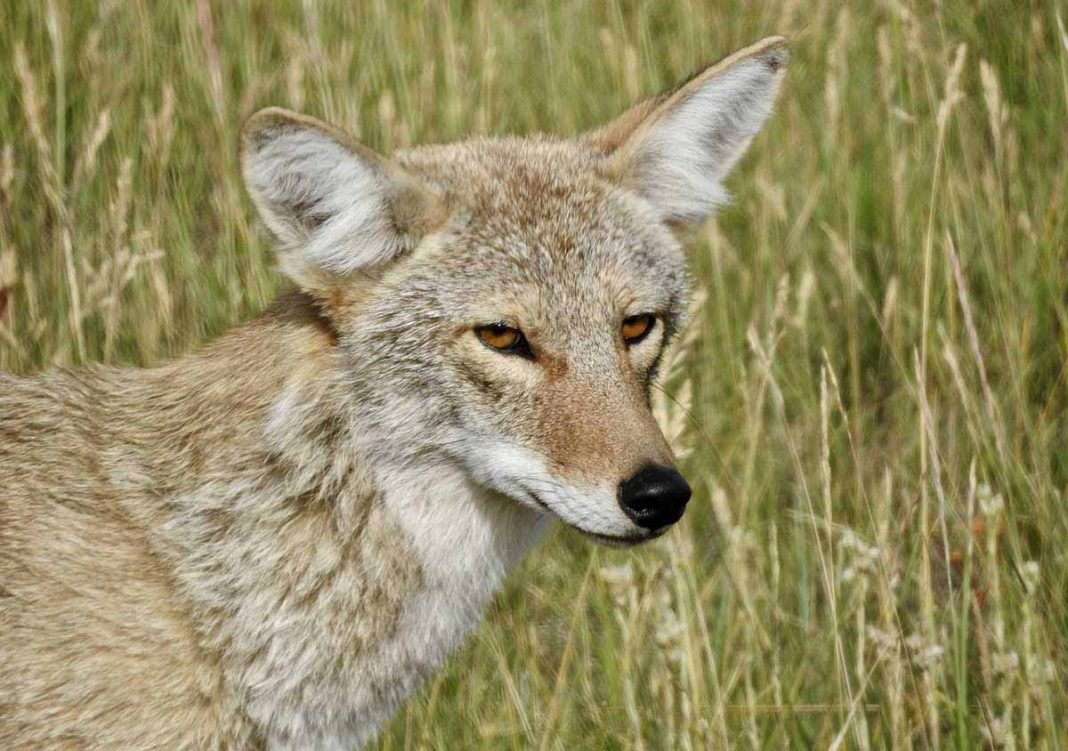 coyote en Florida