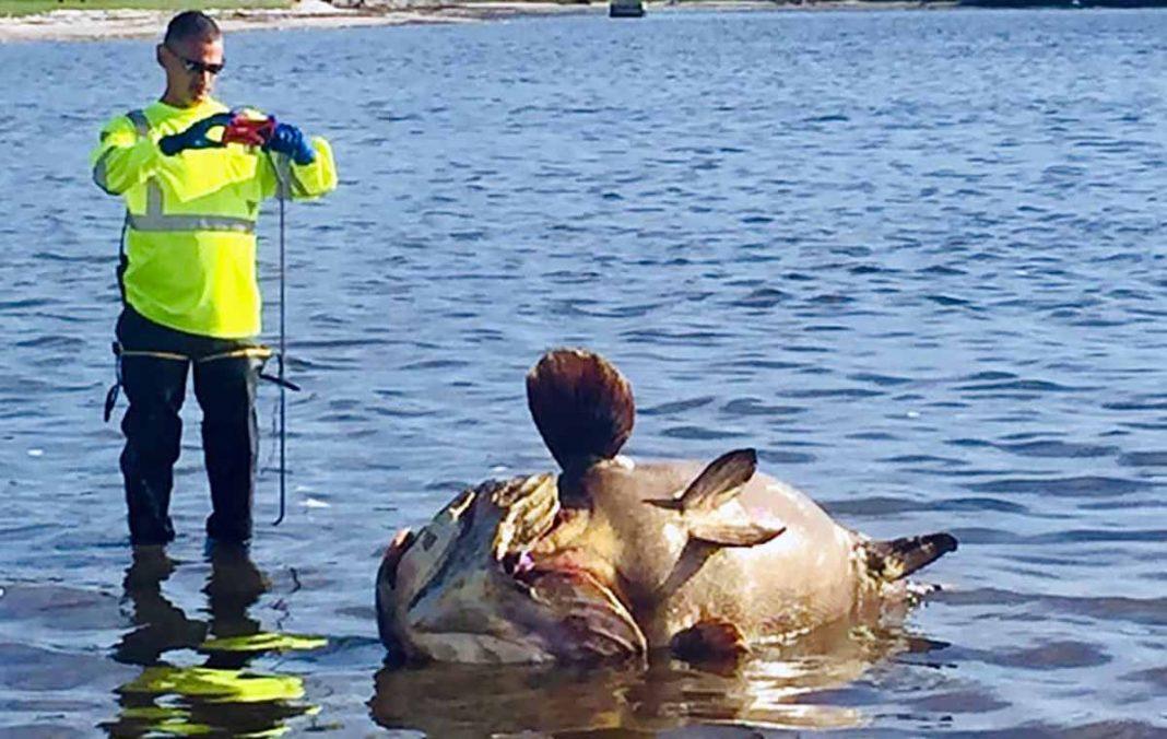 peces gigantes en playas de Florida