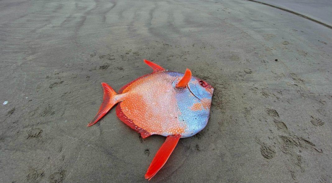 Pez extraño aparece en una playa de EE.UU.