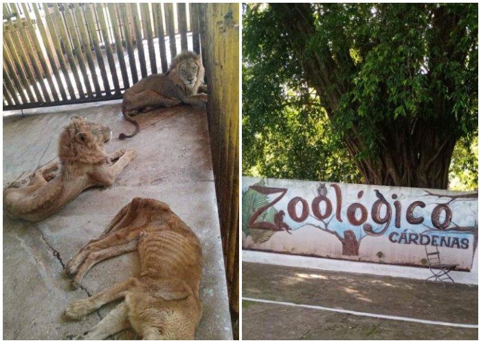 Así de hambrientos están los leones en el zoológico de Cárdenas