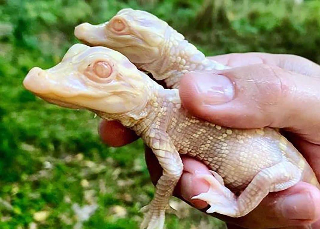 caimanes albinos