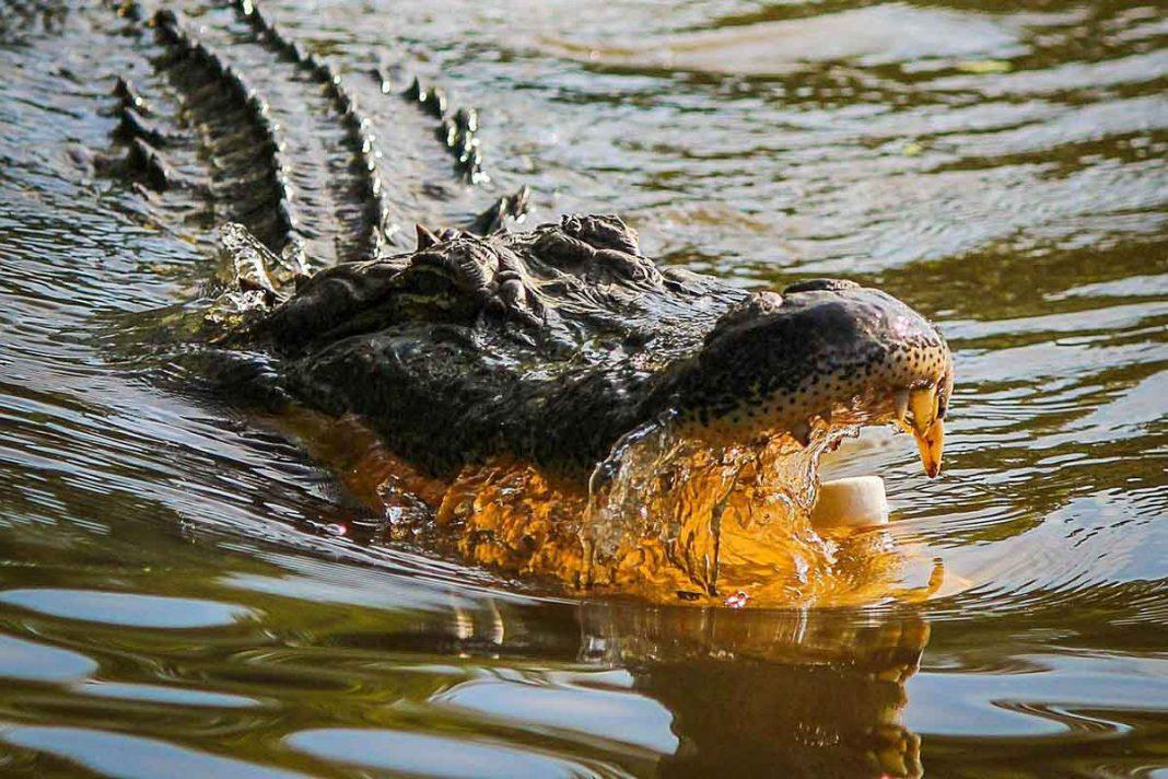 caimán Louisiana